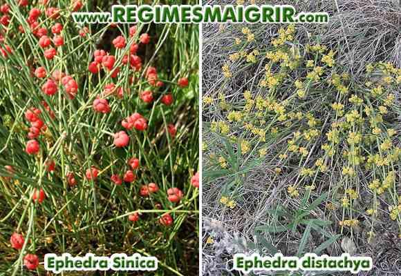 Deux espèces d'ephedra, appelées Sinica et Distachya, apportent l'alcaloïde éphédrine