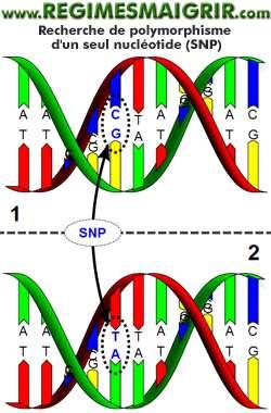 Le test ADN cherche des polymorphismes nucléotidiques simples SNP afin d'élaborer un profil de gestion du poids