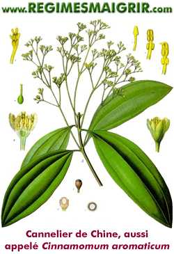 Le cannelier de Chine est aussi appel� Cinnamomum aromaticum