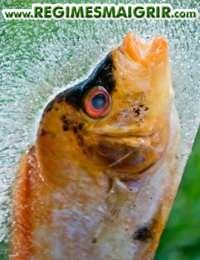 Un poisson conservé sur la glace pilée