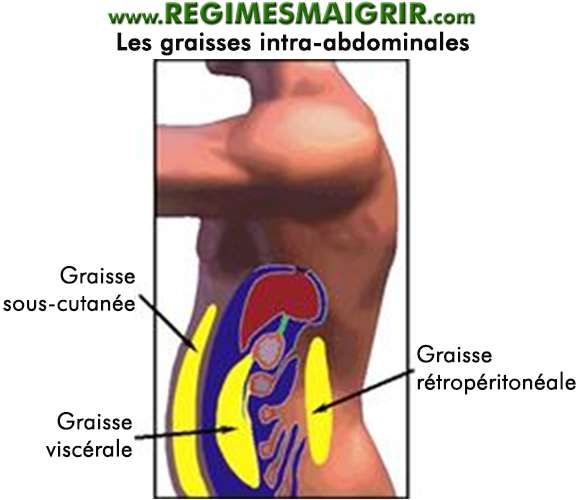 Les graisses intra-abdominales
