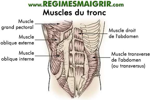 Schéma montrant les muscles du tronc dans le corps humain