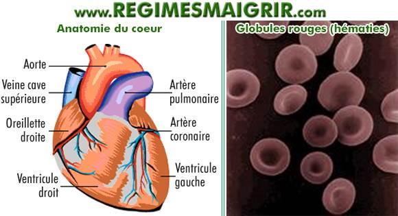 Schéma de l'anatomie du coeur, et une photo des globules rouges prise au microscope