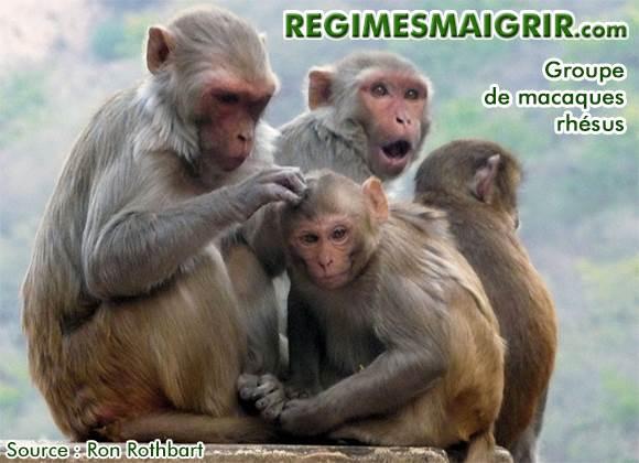 Un groupe de macaques rhésus s'asseoit ensemble