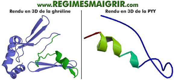 Modélisation en 3D des hormones ghréline et peptide tyrosine tyrosine
