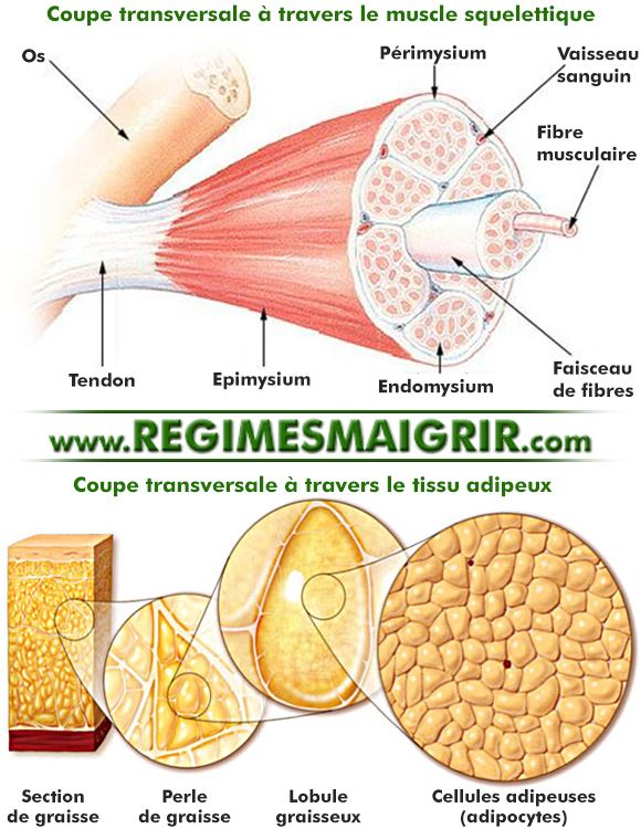 Coupe transversale � travers le muscle squelettique et � travers le tissu adipeux