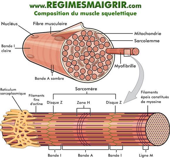 Composants d'un muscle squelettique