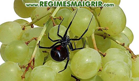 Une veuve noire présente dans un sachet de raisin bio