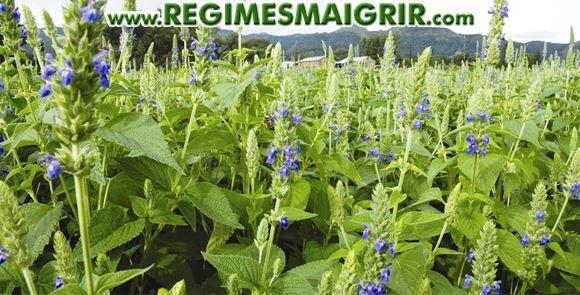 Une plantation de chia ayant déjà fleuri