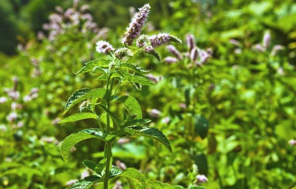 Fleur de menthe poivrée