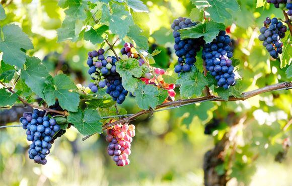 Des grappes de raisin pas encore cueillies de leurs vignes