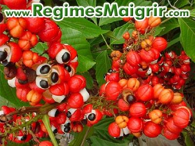 Les fruits du guarana