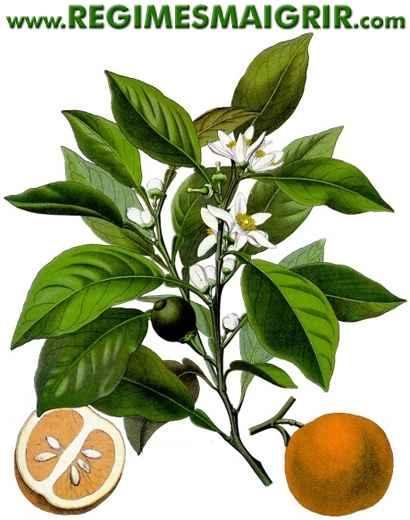 L'orange amère est aussi appelée la bigarade
