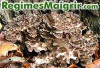 Zoom sur le champignon grifola frondosa poussant ici sur un arbre
