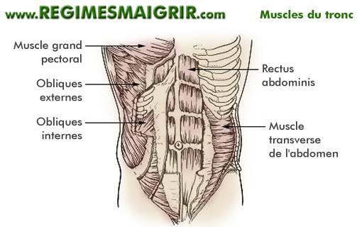 Anatomie des muscles du tronc