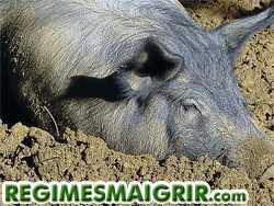 Les cochons adorent rouler dans la boue pour évaculer la chaleur et lutter contre les parasites