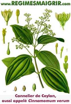 Le cannelier de Ceylan est aussi appelé Cinnamomum verum