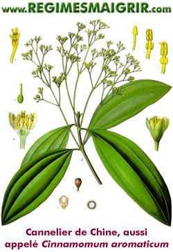 Le cannelier de Chine est aussi appelé Cinnamomum aromaticum