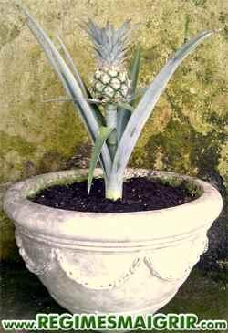 Vous pouvez cultiver la plante d'ananas à partir de la couronne coupée