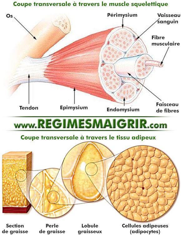 Coupe transversale à travers le muscle squelettique et à travers le tissu adipeux