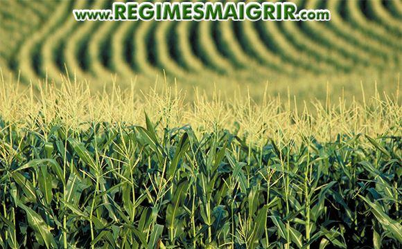 Un champ de maïs génétiquement modifié situé aux Etats-Unis
