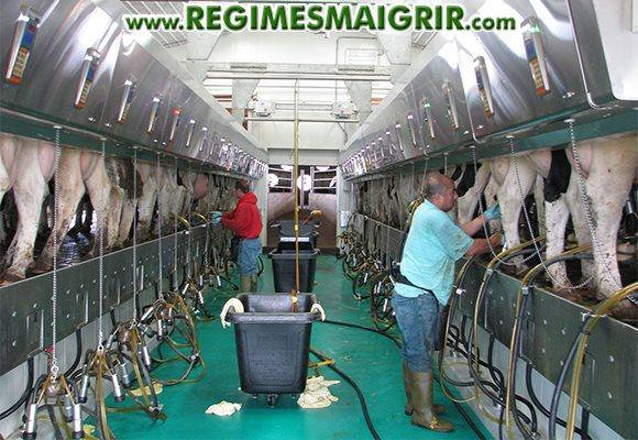 Deux hommes mettent en place le dispositif qui permet d'extraire du lait des vaches laitières dans une salle très propre