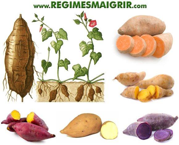 La plante qui produit la patate douce et les différentes couleurs de ce tubercule
