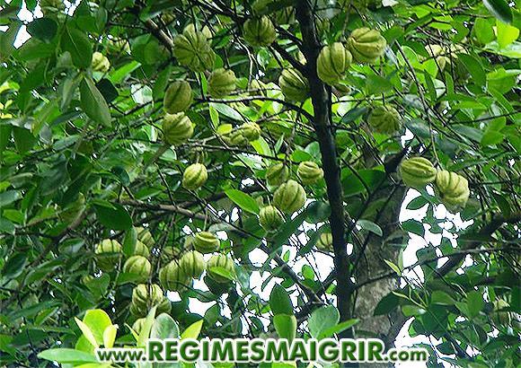 Arbre du Gambooge avec des fruits non mûrs