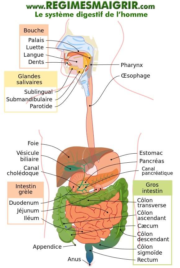 Le système gastro-intestinal chez l'humain