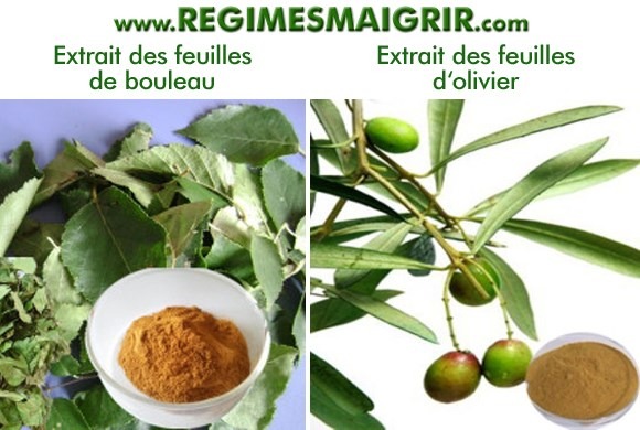 Les feuilles du bouleau et d'olivier sont posées à côté de leurs extraits en poudre