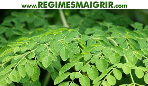 Des feuilles de Moringa Oleifera