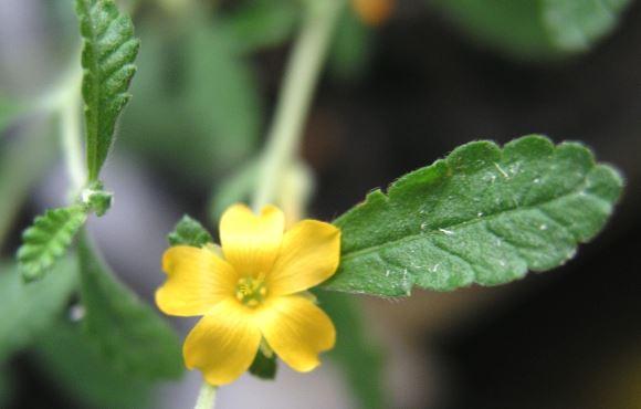 Fleur de la Damiana