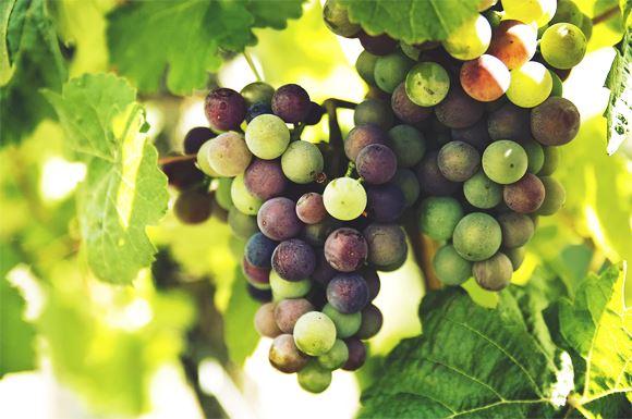 Des raisins verts et rouges poussant dans la même grappe