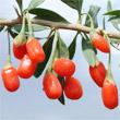 La baie de Goji fait partie des aliments les plus nutritifs